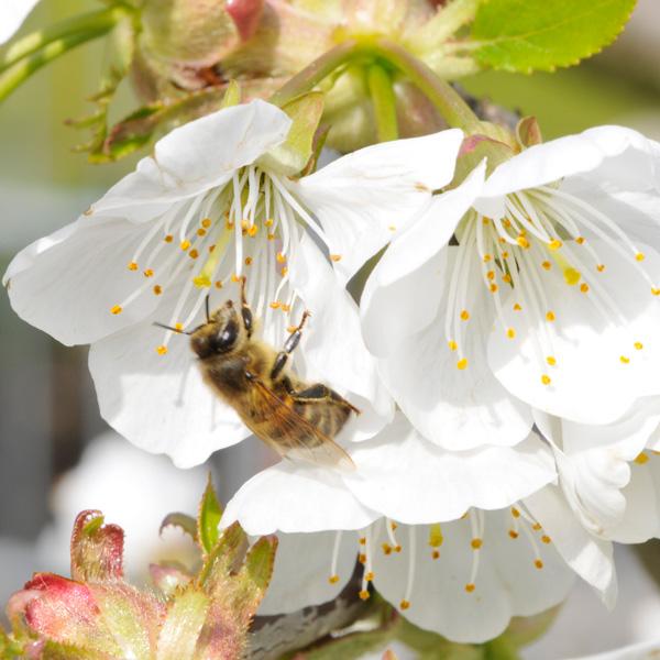 honig-kaufen-gesund-bio-imker-Bienen